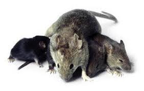 Derattizzazione Mestre: topi diffusi